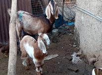 بز و بزغاله پاکستانی دورگسرحالمعاوضهبا گوسفند در شیپور-عکس کوچک
