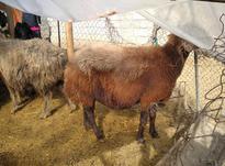 فروش سه عدد گوسفند ماده وزن بالا  در شیپور-عکس کوچک