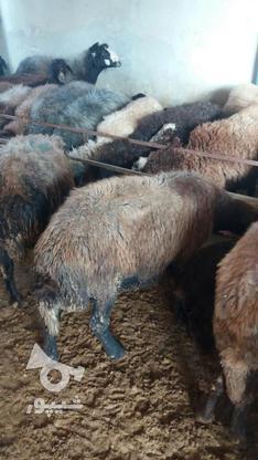گوسفند وره مار و آبستن  در گروه خرید و فروش ورزش فرهنگ فراغت در مازندران در شیپور-عکس4