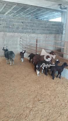 گوسفند وره مار و آبستن  در گروه خرید و فروش ورزش فرهنگ فراغت در مازندران در شیپور-عکس6