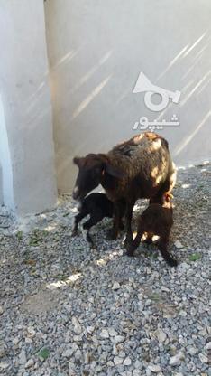 گوسفند وره مار و آبستن  در گروه خرید و فروش ورزش فرهنگ فراغت در مازندران در شیپور-عکس8