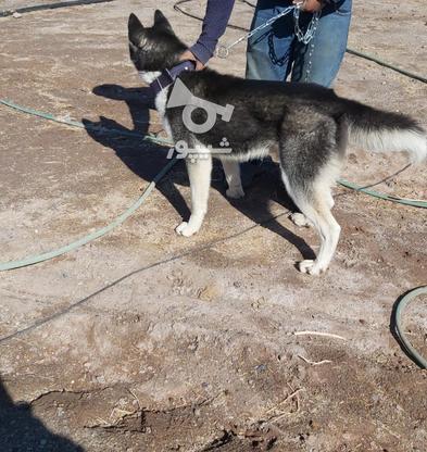 سگ هاسکی نر اصیل در گروه خرید و فروش ورزش فرهنگ فراغت در کرمان در شیپور-عکس3