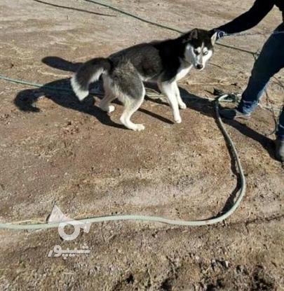 سگ هاسکی نر اصیل در گروه خرید و فروش ورزش فرهنگ فراغت در کرمان در شیپور-عکس1