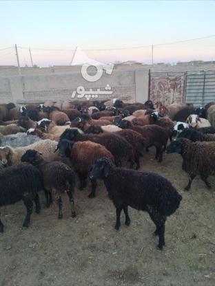 بره نر سیا کبود در گروه خرید و فروش ورزش فرهنگ فراغت در البرز در شیپور-عکس2