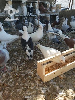 فروش انواع کبوتر بصورت یک جاه در گروه خرید و فروش ورزش فرهنگ فراغت در گلستان در شیپور-عکس1