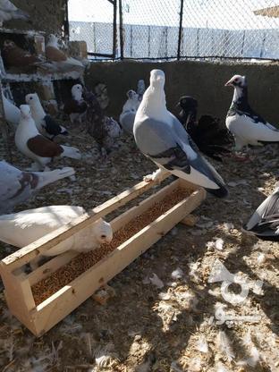 فروش انواع کبوتر بصورت یک جاه در گروه خرید و فروش ورزش فرهنگ فراغت در گلستان در شیپور-عکس2
