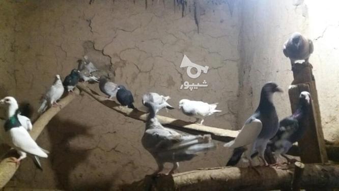 کبوتر پرشی در گروه خرید و فروش ورزش فرهنگ فراغت در خراسان شمالی در شیپور-عکس5