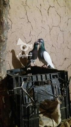 کبوتر پرشی در گروه خرید و فروش ورزش فرهنگ فراغت در خراسان شمالی در شیپور-عکس3