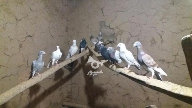 کبوتر پرشی در گروه خرید و فروش ورزش فرهنگ فراغت در خراسان شمالی در شیپور-عکس1