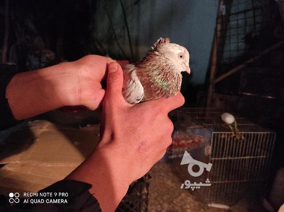 کبوتر سرور کاکلی پاپر در گروه خرید و فروش ورزش فرهنگ فراغت در گیلان در شیپور-عکس4