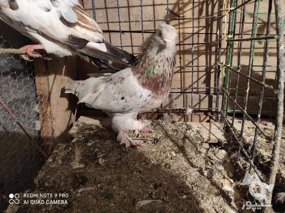کبوتر سرور کاکلی پاپر در گروه خرید و فروش ورزش فرهنگ فراغت در گیلان در شیپور-عکس1