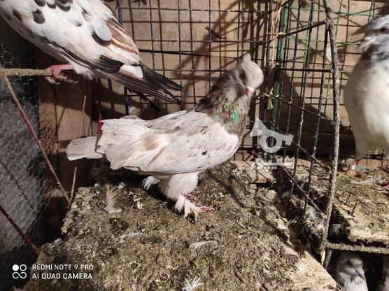 کبوتر سرور کاکلی پاپر در گروه خرید و فروش ورزش فرهنگ فراغت در گیلان در شیپور-عکس3
