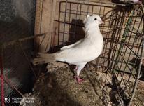 کبوتر پاک سفید نرکاکلی در شیپور-عکس کوچک