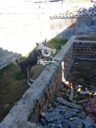سگ هاسکی فروشی نر.  در گروه خرید و فروش ورزش فرهنگ فراغت در گلستان در شیپور-عکس1