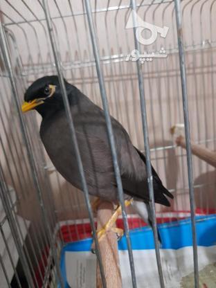 مرغ مینا30کلام و جمله گو در گروه خرید و فروش ورزش فرهنگ فراغت در همدان در شیپور-عکس1