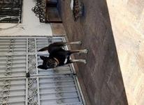 سگ نگهبان و حرف گوش کن در شیپور-عکس کوچک