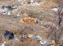 سگ آدم گیر در شیپور-عکس کوچک
