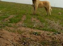 سگ گله است در شیپور-عکس کوچک
