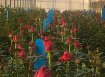 کار در گلخانه در شیپور-عکس کوچک