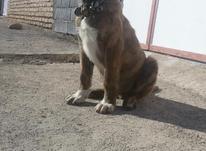 سگ، توله سه ماه نیم خراسانی  در شیپور-عکس کوچک