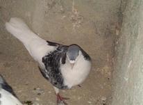 یک عدد کبوتر ساده در شیپور-عکس کوچک