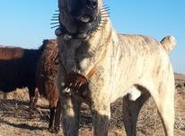 سگ       گله   در شیپور-عکس کوچک