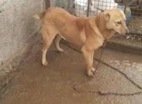 سگ عالی نر  در شیپور-عکس کوچک