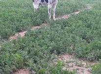 سگ گله ونگهبان وآدمگیر در شیپور-عکس کوچک