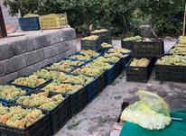 باغ در اده بزرگ ارومیه در شیپور-عکس کوچک
