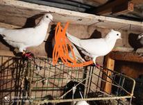 یه جفت کبوتر پاک سفید در شیپور-عکس کوچک