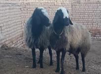 دو راس قوچ ناب و زیبای نژاد شال  در شیپور-عکس کوچک
