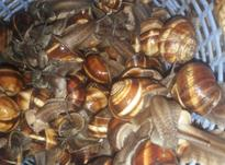 حلزون اسکارگو  در شیپور-عکس کوچک