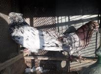 فروش15تاسرورکاکل کشیده  در شیپور-عکس کوچک
