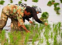 زمین کشاورزی 1500  در شیپور-عکس کوچک