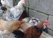 فروش مرغ وخروس به صورت جزئی وکلی در شیپور-عکس کوچک