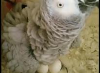 تخم طوطی سانان در شیپور-عکس کوچک