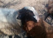 گوسفندسالم در شیپور-عکس کوچک