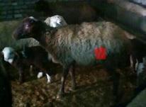 گوسفند ماده در شیپور-عکس کوچک