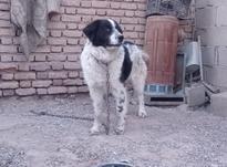 سگ قدریجونی در شیپور-عکس کوچک
