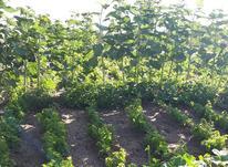 نهال انگور در شیپور-عکس کوچک