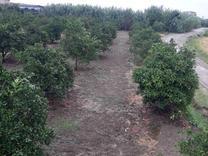 فروش زمین کشاورزی 237 متر در قائم شهر در شیپور