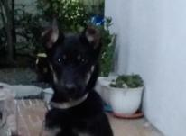 سگ ژرمن دوبرمن 4/5 ماهه نر در شیپور-عکس کوچک