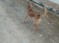 سگ با ادب و تمیز در شیپور-عکس کوچک