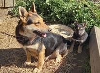 توله سگ ماده و سگ ماده ژرمن در شیپور-عکس کوچک