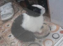 فروش بچه خرگوش سخنگووو در شیپور-عکس کوچک