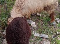 فروش سه عدد گوسفند نر ماده در شیپور-عکس کوچک