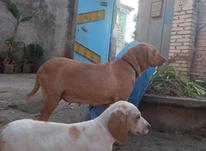 فروش سگ شکاری  در شیپور-عکس کوچک