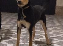 سگ ژرمن با شناسنامه  در شیپور-عکس کوچک