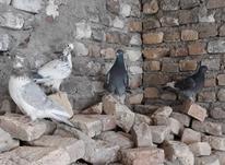 10 جفت کبوتر در شیپور-عکس کوچک