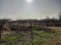 هرس کاری و پیوند زنی درختان در شیپور-عکس کوچک